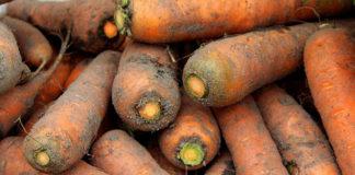 Jak odpowiednio uprawiać marchew?